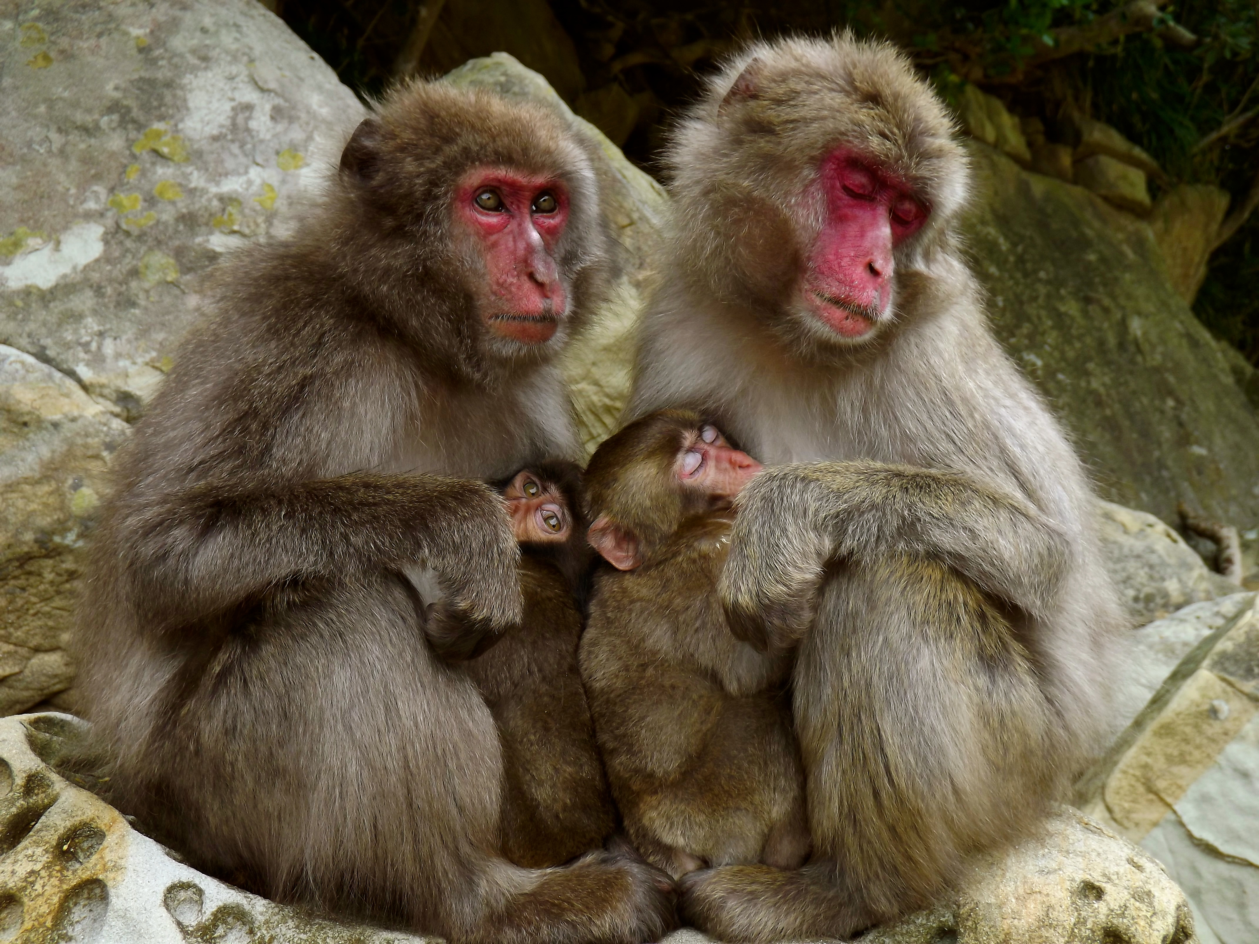 Japanese macaques of Koshima island, Japan