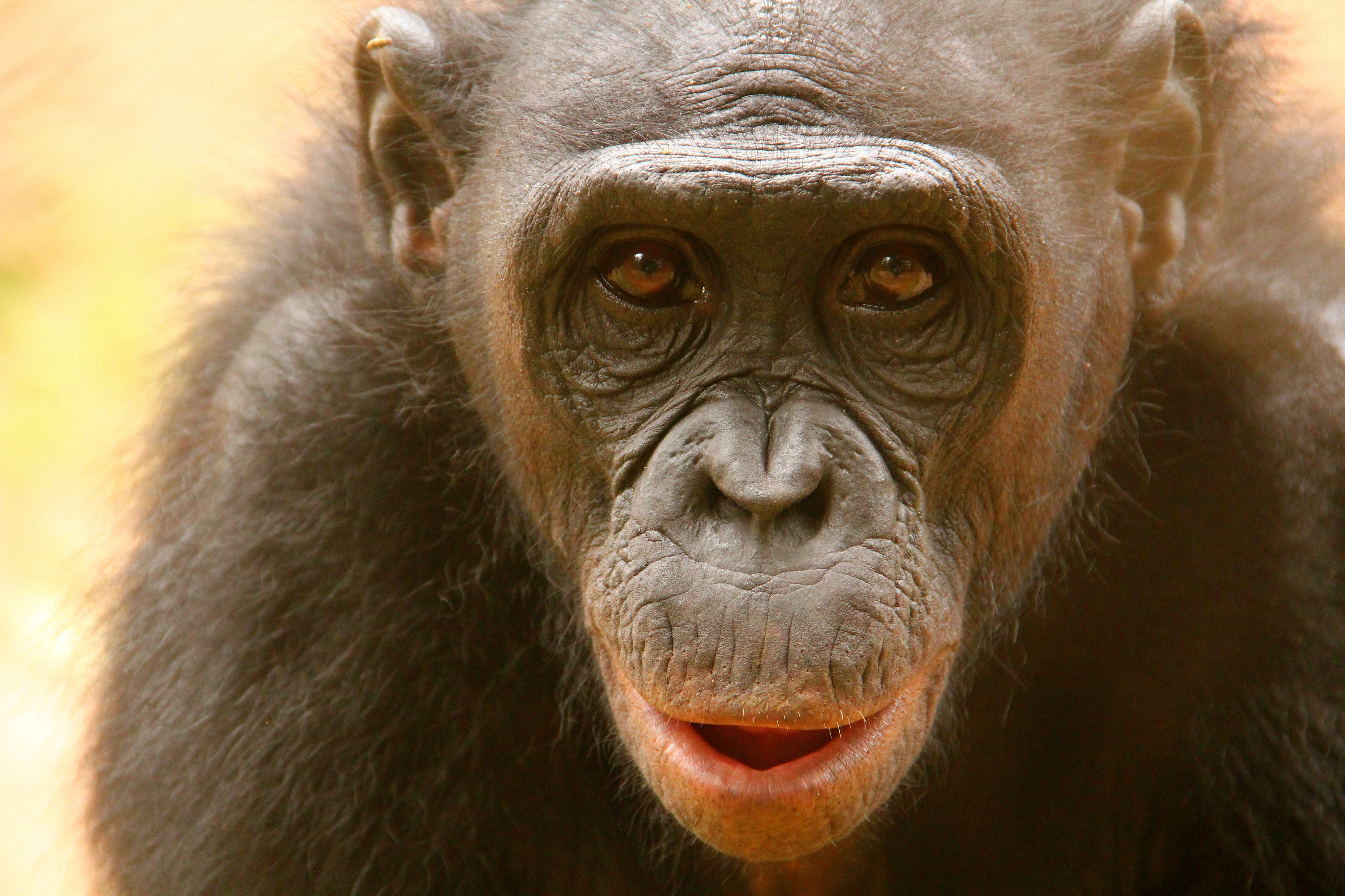 Bonobo at Lola ya Bonobo sanctuary, DRCongo