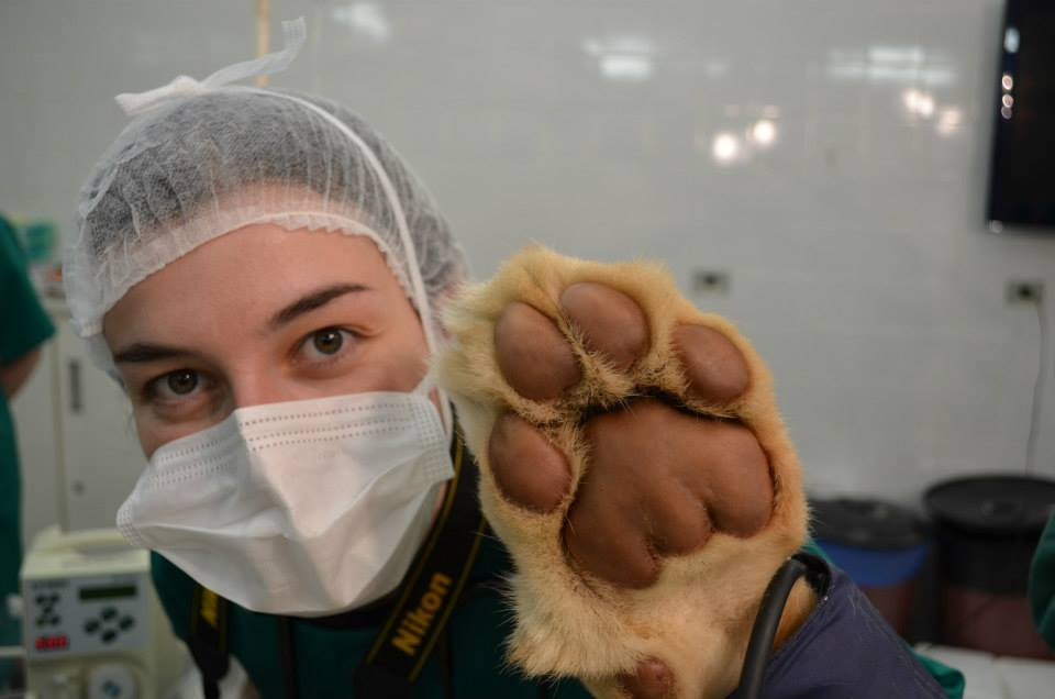 Lioness being treated at a veterinary teaching hospital in Brazil