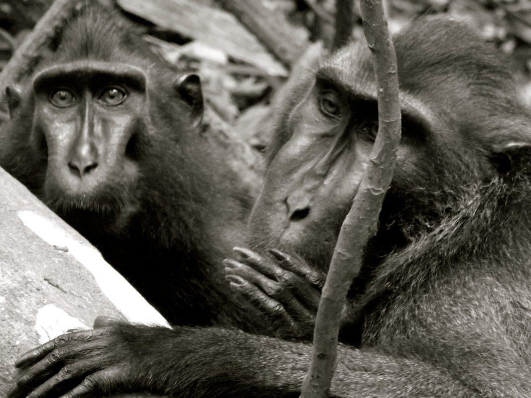 Crested macaques of Sulawesi, Indonesia