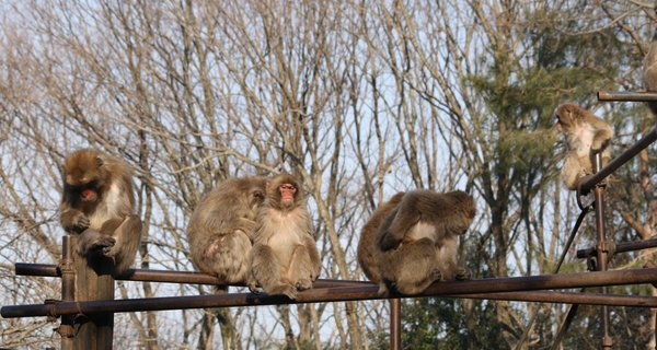Japanese macaques at Kyoto University's Primate Research Institute