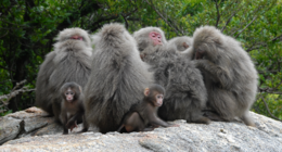 Japanese macaques on Yakushima in a grooming cluster