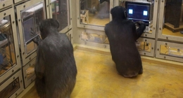 Chimpanzees compete using game theory